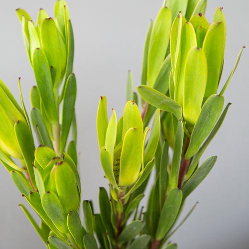 Chameleon Fresh Cut Leucadendron Flower