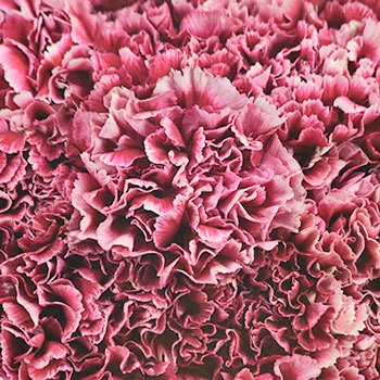 Chelo Blush and Magenta Wholesale Carnations Up close