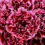Cherries in the Snow Wholesale Carnations Up close