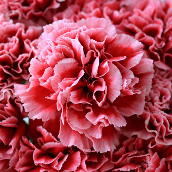 Cherrio Bicolor Hot Pink and Pink Wholesale Carnations Up close
