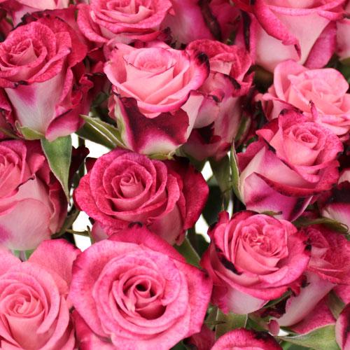 Cherry Follies Hot Pink Spray Roses up close