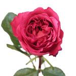 Cherry Kiss Garden Rose Stem