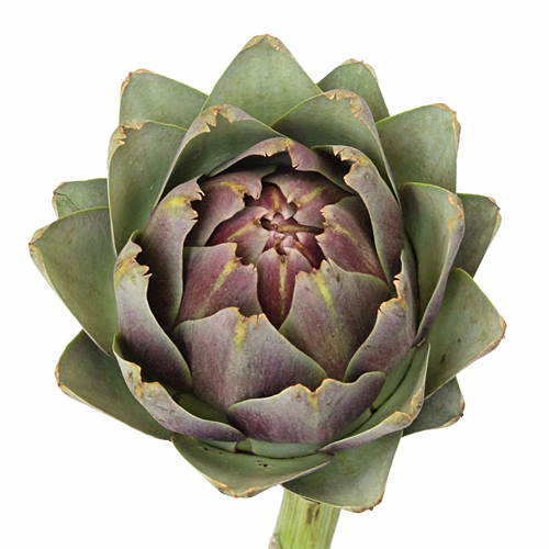 Hint of Burgundy Ornamental Artichoke