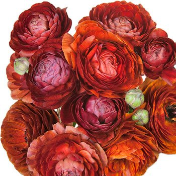 Chocolate Ranunculus Fresh Cut Flower