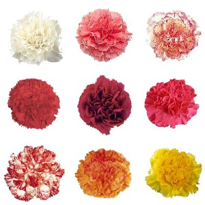 Choose your Colors Carnation Blooms