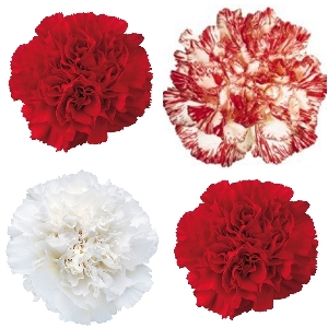 Christmas Pack Mixed Wholesale Carnations Up close