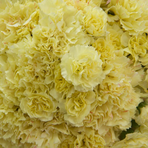 Citrus Love Wholesale Carnations Up close
