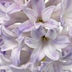 Blue Bulk Hyacinth Flower