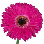 Gerbera Daisy Clasico Purpleberry Flower Up close
