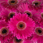 Bulk Hot Pink Gerber Flower