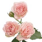 Classic Pink Garden Rose Stem