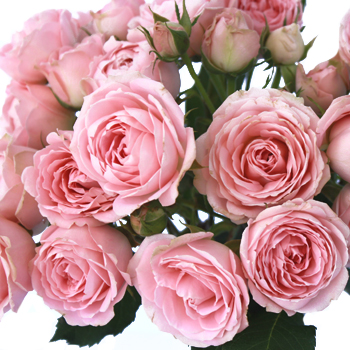 Classic Pink Garden Roses up close