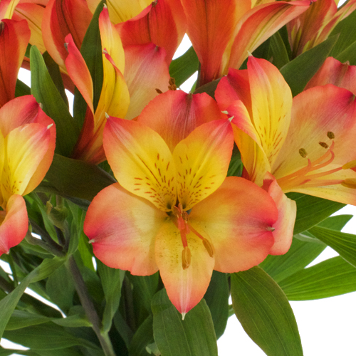 Bicolor Orange and Yellow Peruvian Lilies
