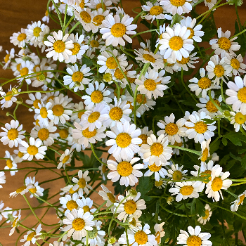Feverfew Daisy Wholesale Cut Flower - November to April