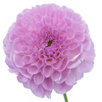 Clouds of Lavender Button Dahlia Flower