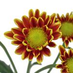 Bulk Golden Yellow Polaris Cushion Flowers