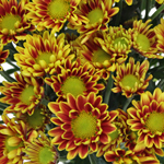 Bulk Golden Yellow Polaris Cushion Flowers