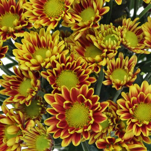 Burgundy Roots Mini Daisy Flower