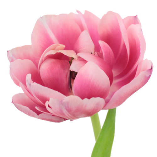 Columbus Pink Double Tulip Wholesale Flower Up close