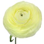 Fresh Ranunculus White Flower