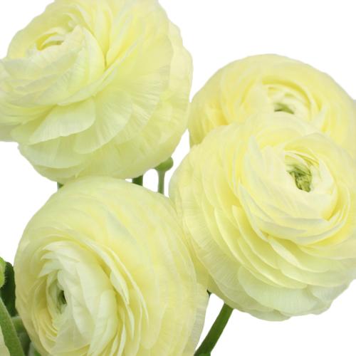 Creamy White Italian Cloony Ranunculus