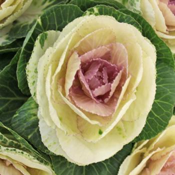 Lavender Blush Kale