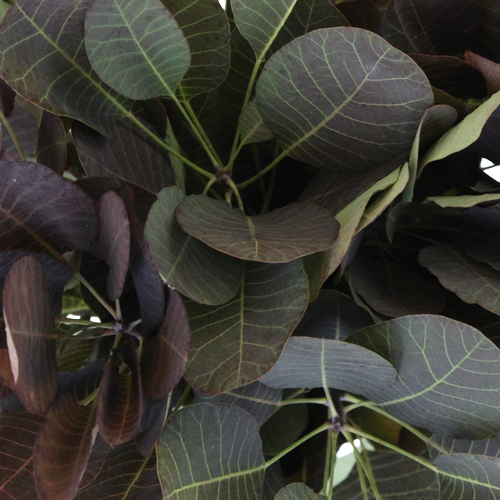 Cotinus Smoke Bush Wholesale Greenery