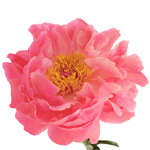 Coral Charm Peony Side Stem View