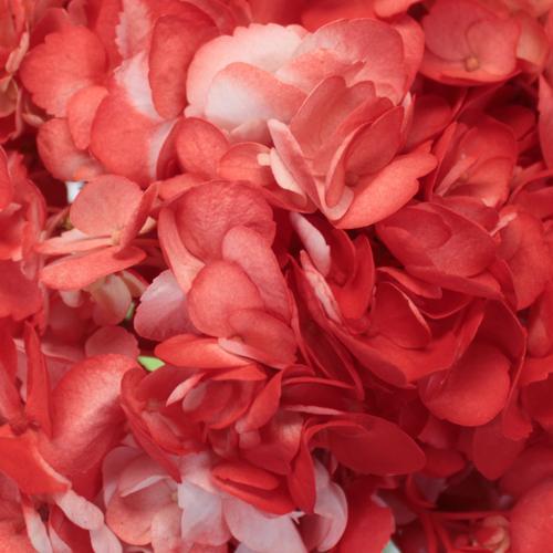 Coral Orange Airbrushed Hydrangea Flower Up Close