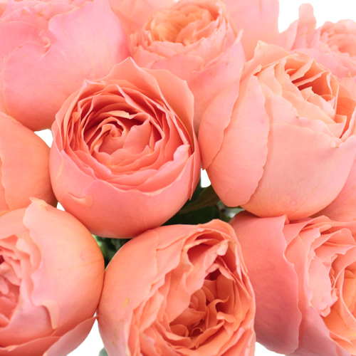Coral Quartz Garden Roses up close