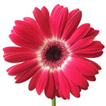 Gerbera Daisy Corazon Hot Pink and White Wholesale Flower Up close