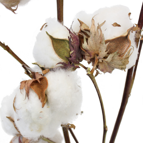 Wholesale Cotton Branches