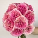 Cotton Candy Pink Garden Wholesale Rose Bunch in a hand