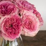 Cotton Candy Pink Garden Rose Bunch