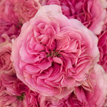 Cotton Candy Pink Roses up close
