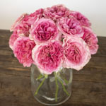 Cotton Candy Pink Garden Wholesale Roses In a vase