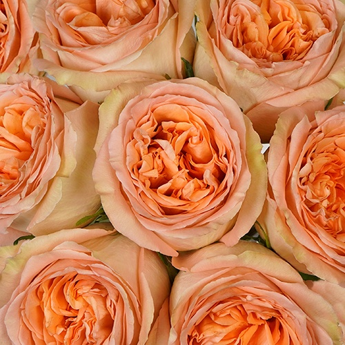 Country Home Peach Garden Roses up close