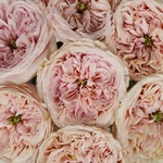 Cozy Cottage Pink Roses up close