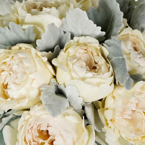 Cream Garden Rose and Dusty Miller DIY Wedding Flowers up close