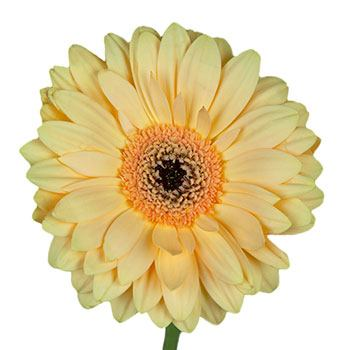 Apricot Champagne Gerbera Daisy Flower