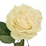 Creamy Ivory Garden Rose Stem