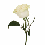 Creamy Ivory Garden Rose Side Stem View