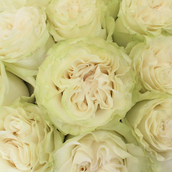 Creamy Ivory Roses up close