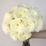 Creamy Ivory Peony Wholesale Rose Bunch in a hand