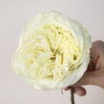 Creamy Ivory Peony Rose Stem