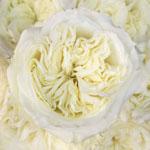 Creamy Ivory Peony Roses up close