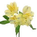 Creamy Yellow alstroemeria Wholesale Stem Close up