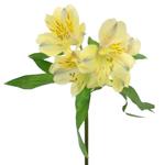 Creamy Yellow alstroemeria Wholesale Flower Stem