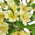 Creamy Yellow alstroemeria Wholesale Flower Upclose
