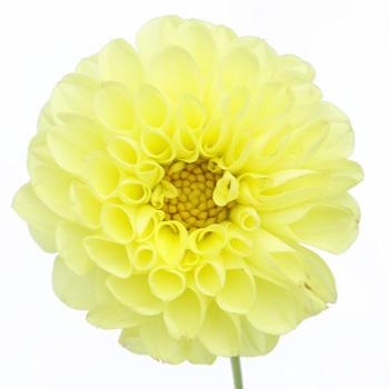 Creamy Yellow Button Dahlia Flower